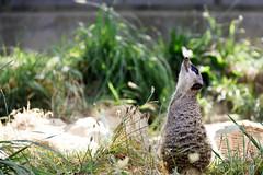 Erdmnnchen, Zoo Kln (Kay Wahdan) Tags: animal animalia collogne erdmnnchen fauna kln klnerzoo mamal meerkat natur nature nordrheinwestfalen suricate suger tier