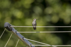 Perspective (opheliosnaps) Tags: bokeh hummingbird green line lines annas webs nature dof lady perch