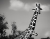 Mother and Child, Giraffes, YO Ranch, TX (1mpl) Tags: canon35mmcamera hillcountrytx yoranch giraffes bw monochrome niksilverefexpro