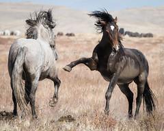 Ruckus (cuddleupcrafts) Tags: wild horse ruckus onaqui herd horses west desert utah great basin