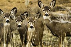 The Deer Squad (Beln Thomas) Tags: animal deer herd