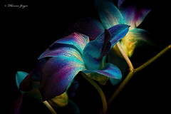 Blue and Indigo Orchid 1014 Copyrighted (Tjerger) Tags: nature beautiful beauty black blackbackground bloom blue closeup fall flora floral flower green macro petals plant portrait stem white wisconsin yellow orchid natural indigo