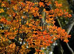 Foliage (giorgiorodano46) Tags: novembre2016 2016 november giorgiorodano nikon villaada foliage roma lazio italy autunno autumn autumncolors automne herbst