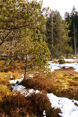 Pin à crochets (héloïsenaturaliste) Tags: nature paysage landscape tourbière luitel pinède pinusuncinata pinusmugosspuncinata pinàcrochet pinàcrochets pin conifère