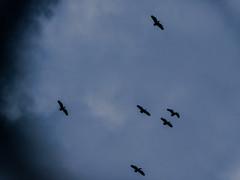 Ducks in the sky (nicolasfernandezpalma) Tags: nublado cloudy clouds nubes patos ducks fly flying libertad freedom darkness oscuridad escapando aves pajaros birds volar