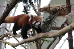 Red Panda_Canon 5dsR_94A0622 (Barry Zee) Tags: redpanda canon5dsr 5dsr red bear canon eos 5ds r ef70200mm f28l is ii usm canoneos5dsr canonef70200mmf28lisiiusm