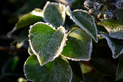 Frozen Leaves (DaveJC90) Tags: frost frosty frozen leaf leaves macro closeup focus blur background green bush tree white ice morning sunrise sunset sun sunny sunlight light bright sky blue dark shadow winter cold colour colours crop croped nikon d5100 digital slr camera zoom lens 1855mm detail sharp sharpness