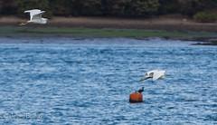 Head Start (JKmedia) Tags: wales northwales egrets inflight canon5dmk3