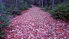 Fallen Leaves (TheNovaScotian1991) Tags: victoriapark novascotia autumn fallcolors trail fallenleaves samsunggalaxys6edge smartphone canada colchestercounty