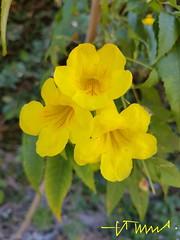 Yellow trumpetbush, Ipezinho, Flor de San Carlos, Vainillo, El Salvador (ssspnnn) Tags: samsung edge galaxy7 spnunes snunes nunes spereiranunes sheraton elsalvador sansalvador flores arvores rbol arbusto bush yellow bignoniaceae tecomastans
