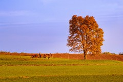 Amish country fall (static_dynamic) Tags: pennsylvania amishcountry fall fallfoliage autumn tree farmland farm buggy horsedrawncarriage farmer sunsetlight evening nikon