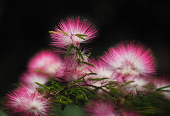 Like cotton-candy_c (gnarlydog) Tags: sharpness duotamron135mmf45 flowers australia adaptedlens manualfocus detail vintagelens