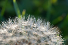 Make a wish... (Robin Penrose - busy - it's fall...) Tags: 201611 7daysofshooting week18 white macromonday wishes dandilion makeawish dandelion blow greatday durham