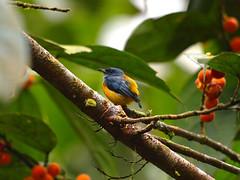 Orange Bellied Flowerpecker (WilliamPeh) Tags: olympus omd em5 bird birding orange bellied flowerpecker wild wildlife explore