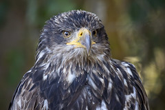 Bald Eagle (michel1276) Tags: adler weiskopfseeadler eagle bird birdofprey vogel greifvogel baldeagle
