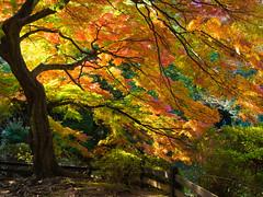 Gyoen-Garden-10 (Pixeleater) Tags: 2016 gyoennationalgarden november tokyo japan autumn herbst red rot marple ahorn natur