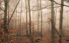 Eifel Fog (Netsrak) Tags: forst natur nebel wald fog forest mist nature woods eifel tree trees baum bume outdoor landscape landschaft autumn fall herbst