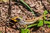 Chameleon (Renzo Ottaviano) Tags: mpumalanga sudafrica thaba chweu chameleon camaleonte south africa renzo lorenzo ottaviano