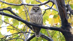 barred owl (quadceratops) Tags: massachusetts nature norfolk county barred owl