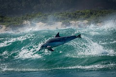 Dolphin (Chris Willis 10) Tags: bottle nosed dolphin water swimming jumping south africa