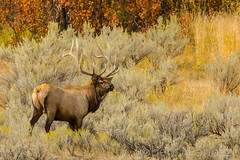 Six by six {Explored} (ChicagoBob46) Tags: bullelk elk yellowstone yellowstonenationalpark nature wildlife explore explored