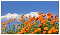 Mount Kangchenjunga through blossom (Anindya_Doordarshan) Tags: kanchanjungha kanchendzonga kangchenjunga kanchenjungha kabru lamahatta darjeeling himalaya west bengal india mountain snow nature canon landscape talung flower ngc