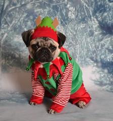 Christmas Pug Elf Santa's Little Helper (DaPuglet) Tags: pug puppy dog christmas elf santa costume holiday boothepug dapuglet funny cute pets pugs dogs pet animal animals