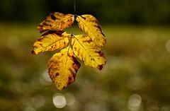 Autumn Bokeh (nagyistvan8) Tags: nagyistván túrkeve magyarország magyar hungary nagyistvan8 természet nature levél leaf leaves ősz autumn bokeh bokehlicious színek colors háttérkép background barna zöld fekete fehér sárga növény plant brown black green yellow white ngc 2016 nikon