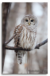 1E1A5894-DL   -   Chouette rayée / Barred Owl.