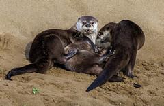 Wrestlemania, River Otter Style! - Explored (vishalsubramanyan) Tags: otters cute adorable pup sand wildlife nature california