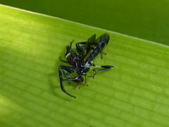 Big Meal (tessab101) Tags: spider spiders arachnid arachnids opisthoncus grassator warrimoo nsw blue mountains