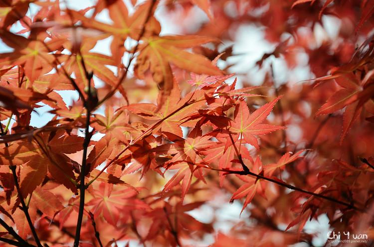竹子湖紅楓16.jpg