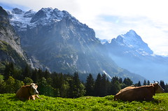Une ide de paradis  -  An idea of paradise  (EXPLORE) (Philippe Haumesser Photographies) Tags: mountains alps nature alpes landscape switzerland cows suisse swiss grindelwald paysage schweitz eiger vaches montagnes alpis ringexcellence flickrstruereflection1 flickrstruereflection3