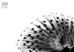 The Feathered Sun (180camArt) Tags: life portrait bw india bird art love monochrome beauty umbrella photography blackwhite energy indian digitalart feather happiness peacock 180 wisdom girlie coolness nationalbird keyed 180camart