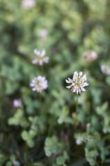 flower (Riccardo Senia) Tags: flower verde green field focus bokeh deep campo fiore prato fuoco sfuocato