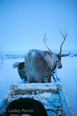 0043 (lesley v) Tags: holiday snow ice finland reindeer husky sweden arctic aurora northernlights january2013 davviarcticlodge