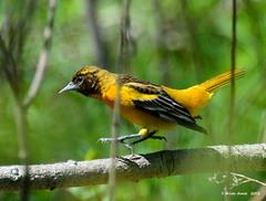 Danse avec moi (anjoudiscus) Tags: bird nature jaune wildlife ange mai qubec boucherville oiseau d800 baltimoreoriole oriole icterusgalbula  2013 orioledebaltimore parcdelafrayre nikkor28300mmvr
