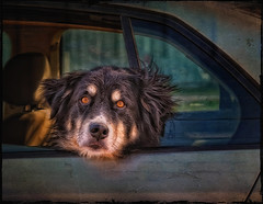 Drive by Shooting (jta1950) Tags: dog chien pet pets cute texture car animal framed adorable canine d300 dogportrait nasos3