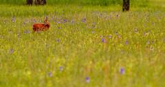 deer in the flower meadow [EXPLORE] (diamir8000) Tags: flowers flower canon geotagged austria spring zoom wildlife meadow wiese deer reh 400mm lauterach vorarlberg ried canoneos7d