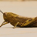 Egyptian Grasshopper detail