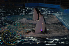 Takara and Unna4 (GypsySkye7) Tags: sanantonio believe orca seaworld shamu takara killerwhale unna captivity