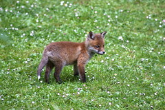 Fox Cub (demc7) Tags: ireland red dublin baby cute puppy foxy cub ginger kitten adorable ears auburn fox aww sly vixen