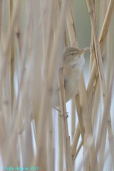 REED WARBLER (Colin Avison) Tags: water attenborough naturereserve quarry beeston nottinghamshire wildlifetrust