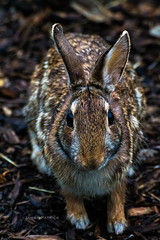 Bunny (JamesPatrickDurkin) Tags: park brown bunny nature animal closeup downtown peoria offguard peoriaillinois