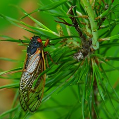 "148/365: Zorro the Cicada (spot the ""Z"" on the wing) (2013 Brood II, Magicicada septendecim, also called Pharaoh Cicada or the 17-year Locust) (Stephen Little) Tags: beercan sooc straightoutofcamera minolta70210mmf4 minolta70210mm minoltaaf70210mmf4 minoltaaf70210mm sonya77 jstephenlittlejr slta77 sonyslta77 sonyslta77v sonyalphaslta77v"