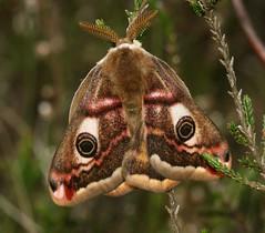 Saturnia pavonia (Small emperor) (S. Rae) Tags: lepidoptera saturnia pavonia saturniidae