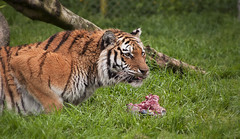 Tiger doing push ups (Roan Manion Images) Tags: zoo tiger pushups dartmoor dinnertime anaimal dartmoorzoo tigerdoingpushups