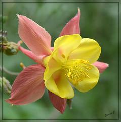 Another Bonnet for Granny (Eleanor (No multiple invites please)) Tags: uk pink england flower london yellow aquilegia columbine stjamesspark nikond3200 grannysbonnet nikon18200lens june2013