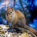 "squirrel-on-rock • <a style=""font-size:0.8em;"" href=""http://www.flickr.com/photos/18570447@N02/9178933434/"" target=""_blank"">View on Flickr</a>"