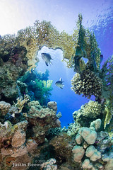 Desmoiselles under coral arch (Justin Beevor) Tags: coral underwater redsea egypt whirlwind rasmohammed desmoiselle scubatravel tornadomarinefleet inons2000 nauticam alexmustardworkshop sonynex6